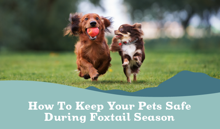 How to keep your pets safe during foxtail season